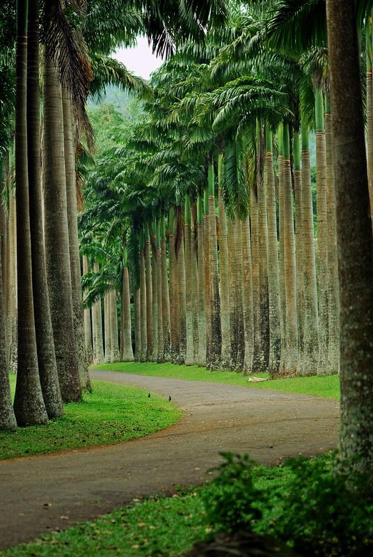 Пальмовая Аллея в Канди