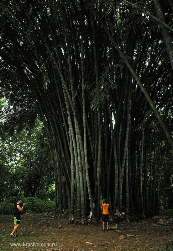 Бамбук в Канди
