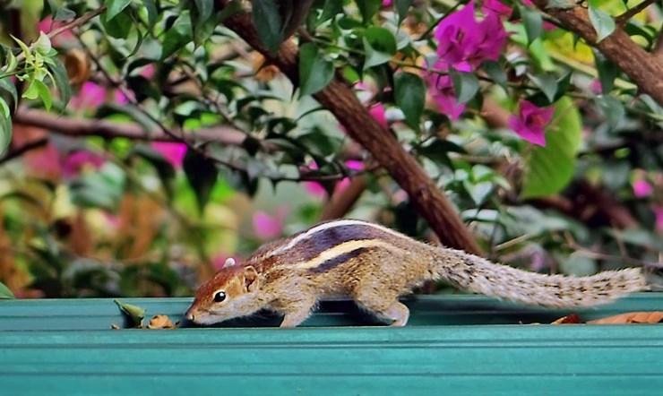 Burunduki v Kandy