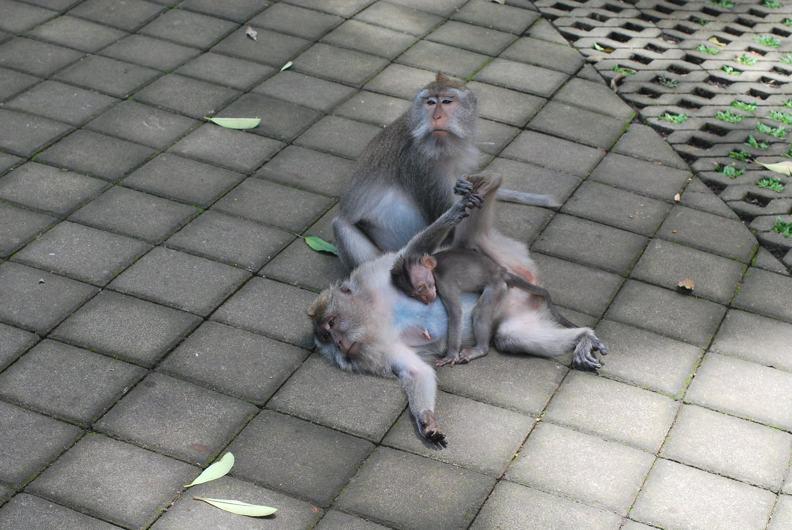 Monkey Forest - семья