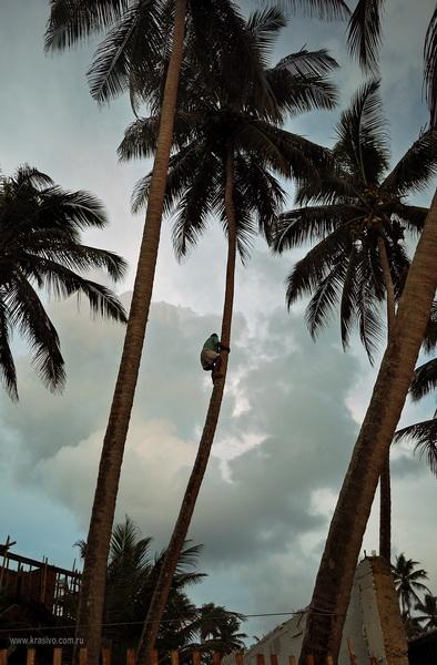 Полез за кокосами местный житель Мириссы