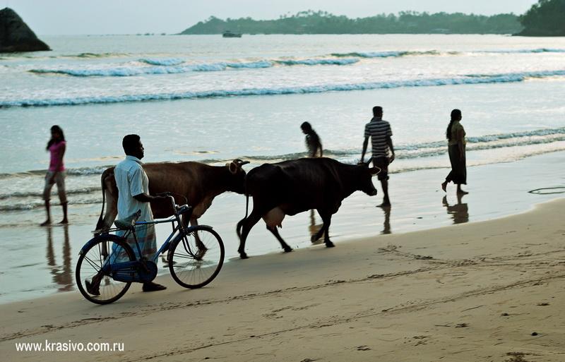 Коровы и лди на берегу на Закате Мирисса